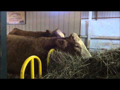 Jersey Cows at exhibition in Cape Breton Nova Scotia Canada –BuyTrucks.ca